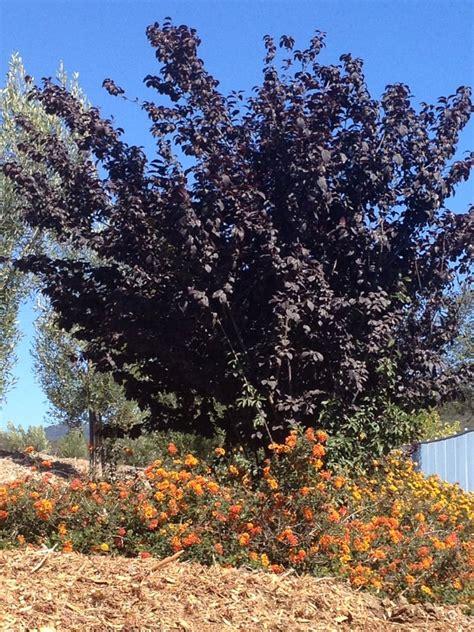 fruitless plum tree yelp