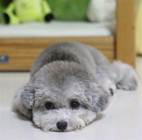 silver poodle puppy silver poodle poodles barboncini poodle and