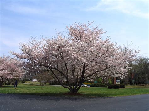 yoshino cherry trees blooming in spring diana digs dirt
