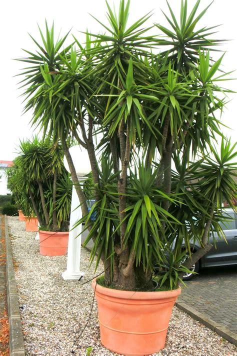 garten yucca teilen yucca palme ableger lebt meine yucca palme noch garten