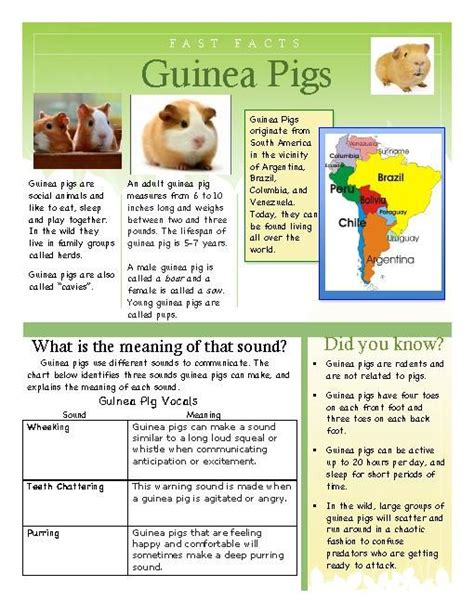guinea pigs online splash page 17 best images about guinea pig on pinterest wtf fun