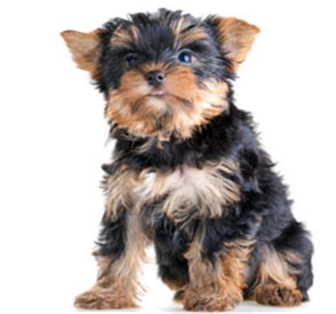facts about yorkie teacup yorkie facts