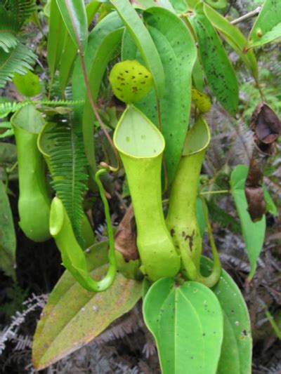 Jual Alat Hidroponik Pontianak jual tanaman nepenthes reinwardtiana bibitbunga