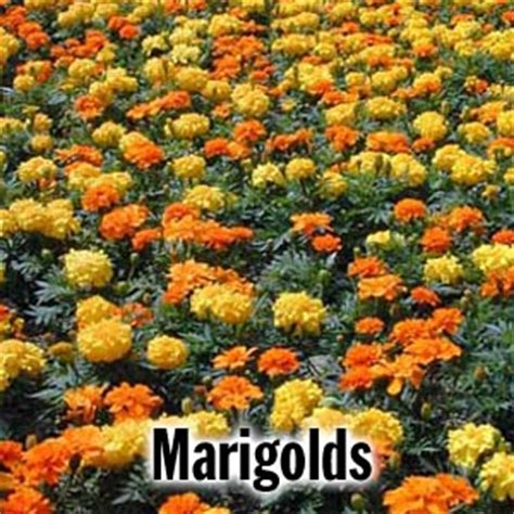 marigolds shade brightwaters farms bay shore ny