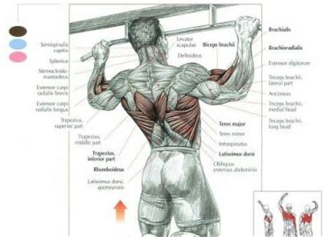 medifit biologicals lats workout back