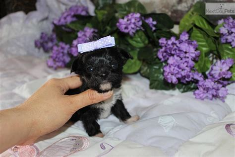 yorkie puppies for sale inland empire dina yorkiepoo yorkie poo puppy for sale near inland empire california 1b9d760a a511
