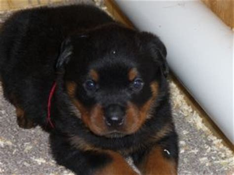 rottweiler puppies for sale in ny rottweiler puppies in new york