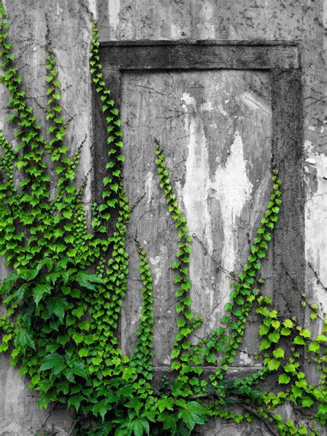 efeu wand alte wand mit efeu stockbild bild flora mystiker