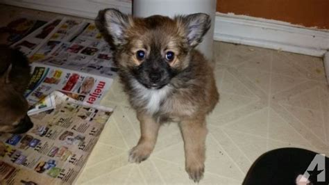 chihuahua and pomeranian mix puppies for sale adorable pomeranian chihuahua mix puppies for sale in indianapolis indiana