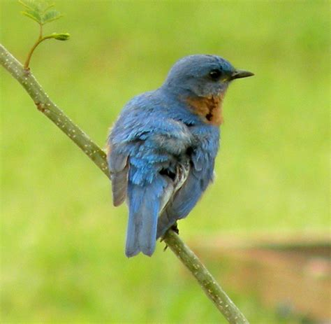 attracting bluebirds to your backyard bluebirds pictures of bluebirds bluebird houses