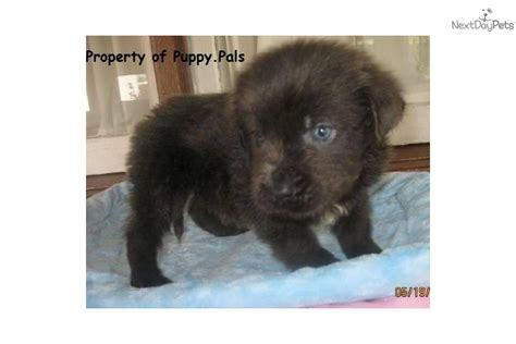 gray newfoundland puppies for sale gray and white newfoundland puppies for sale breeds picture