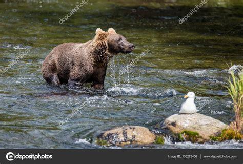 gabbiano immagini orso bruno e gabbiano foto stock 169 gudkovandrey 135223406