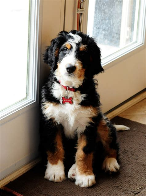bernese mountain and poodle bernedoodle info temperament diet puppies pictures