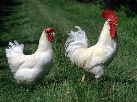 allevamento di animali da cortile animali da cortile si grazie