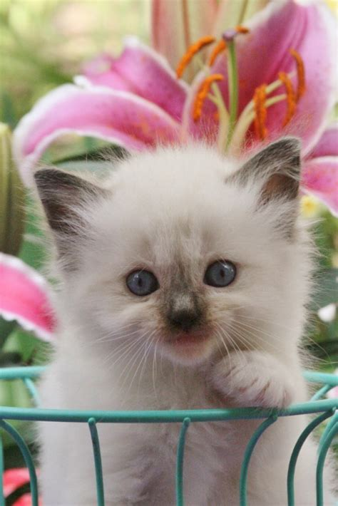 ragdoll cats for sale usa ragdolls with ragdoll kittens for sale in