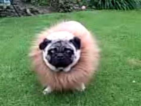 pugs and lions pug dressed as