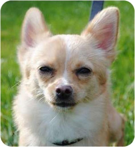 jiggy pomeranian jiggy adopted puppy plainfield il chihuahua pomeranian mix