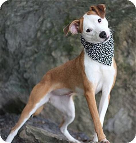 golden retriever whippet mix 62 best images about dogs for on sweet 1 year olds and pets