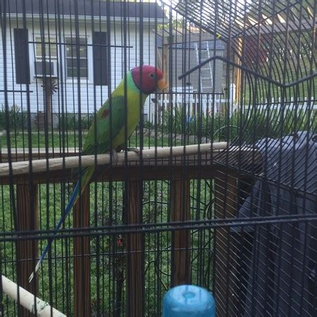 plum head parakeet 118747 for sale in raleigh nc