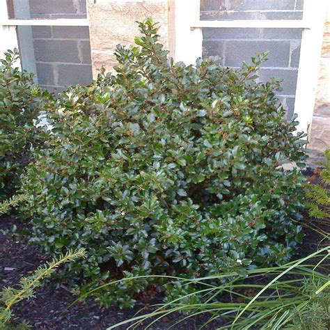 onlineplantcenter 2 gal blue princess shrub i75915