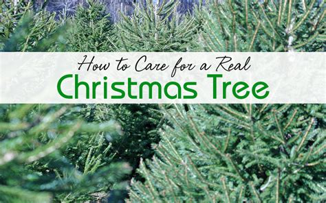 how to care for a real christmas tree lizardmedia co