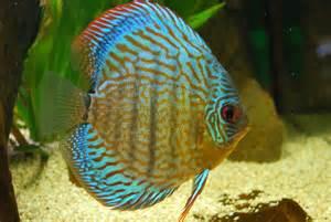 Discus Fish Care   Breeding,Feeding,Diseases & More!!!