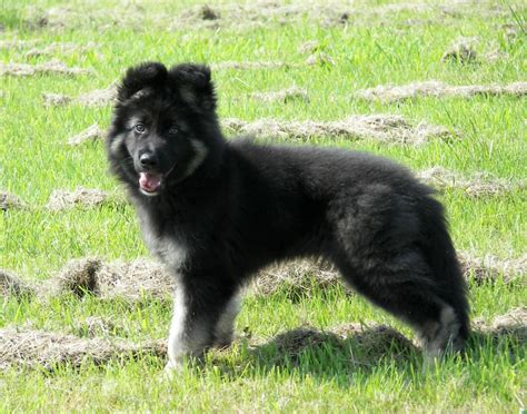 german shepherd puppies for sale in german shepherd puppy for sale bridgend bridgend pets4homes