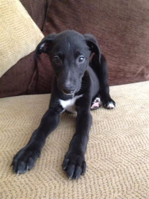 blue greyhound puppies for sale whippet greyhound blue merle collie pups godalming surrey pets4homes