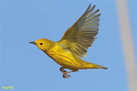 yellow warbler audubon california