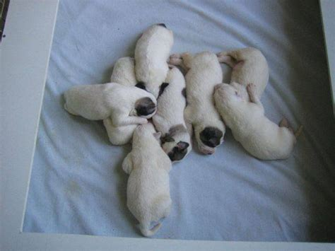 great pyrenees puppies for adoption great pyrenees puppies and dogs for sale and adoption great breeds picture