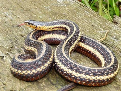 Garter Snake Deck Snakes Of Ohio Biological Sciences 4720 With Brown At