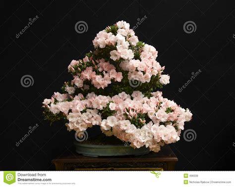 bonsai con fiori pianta dei bonsai immagine stock immagine di bonsai