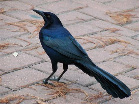 great tailed grackle quiscalus major symbolic meaning