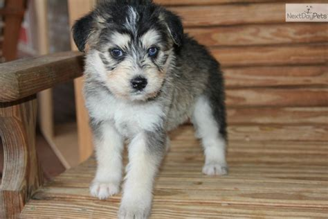 huskapoo puppies for sale siberpoo breeds picture