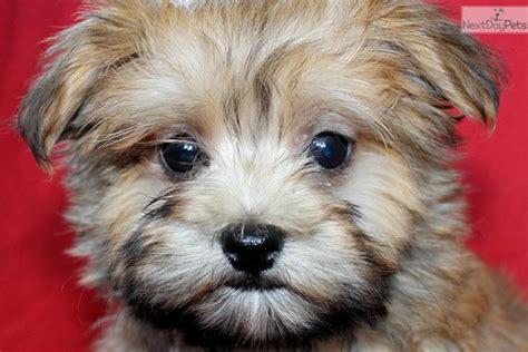 puppies for sale in manhattan ks morkie yorktese puppy for sale near manhattan kansas e5e3a055 5901