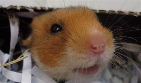 callous pet owners dump cage   syrian hamsters