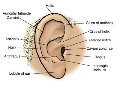 anatomy of the outer ear diagram a auricle chloereid