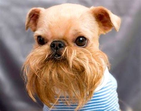 dogs with beards dogs with human hairstyles slapped ham