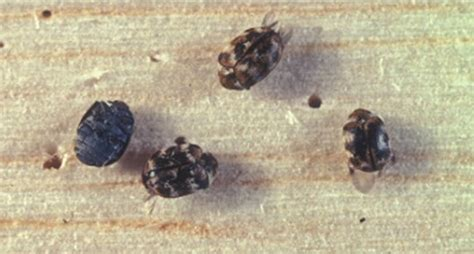 carpet beetles in couch how to get rid of carpet beetles naturally on your own
