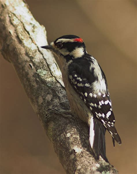 downy woodpecker picoides pubescens natureworks