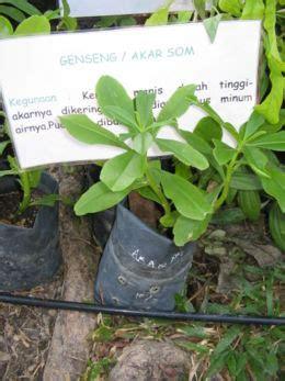 Akar Ginseng Korea rabbit de melaka herbs for all part 1