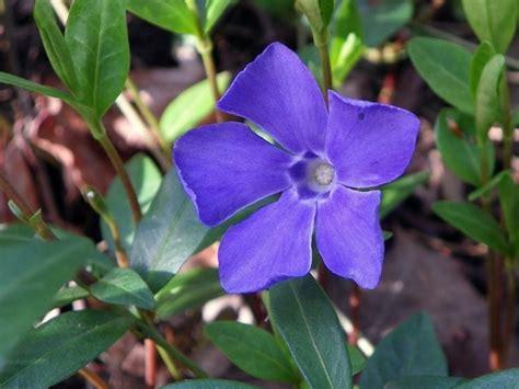 pervinca fiore pervinca fiore fiori di piante pianta pervinca