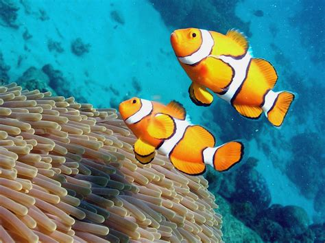 clownfish ikan badut ikan nemo wallpapers pictures steycool blog