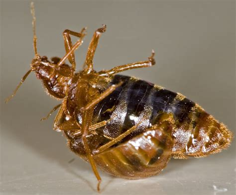 How Do Bed Bugs Reproduce by How To Get Rid Of Bed Bugs