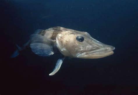 los peces de la enciclopedia animal animales de las regiones polares pez hielo austral o draco ant 225 rtico