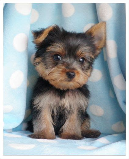 small yorkies yorkie puppy the terrier is a small breed of terrier type