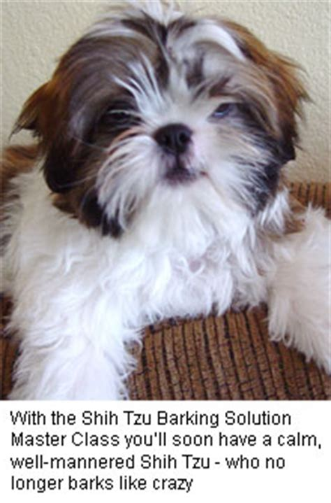 how much are shih tzu puppies worth the shih tzu barking solution master class
