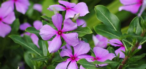 cural impatance of rosy periwinkle madagascar periwinkle