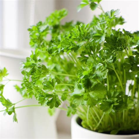Growing Herbs Inside The Nine Easiest Herbs To Grow Indoors
