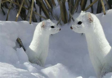 1000 images about arctic ermine on animals
